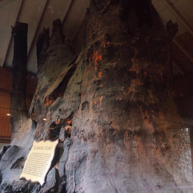 11. World's Largest Sycamore Stump