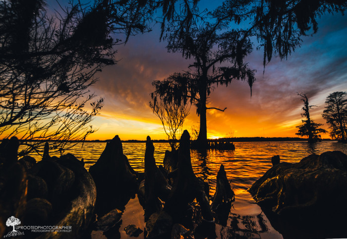 19. Cypress knees in the sunset.