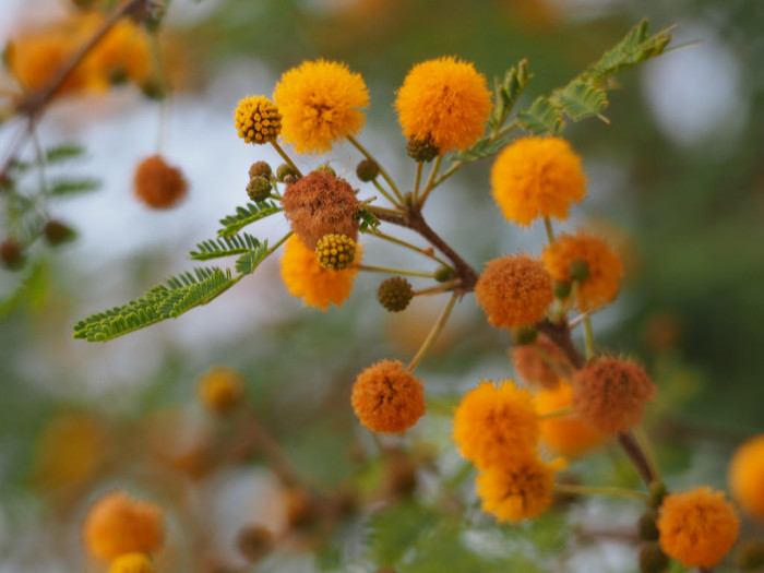 13. One of my favorite scents comes only in winter in the desert, which is when the sweet acacia trees bloom with these puffy little flowers.  The smell is sweet and overwhelming but a rare treat.