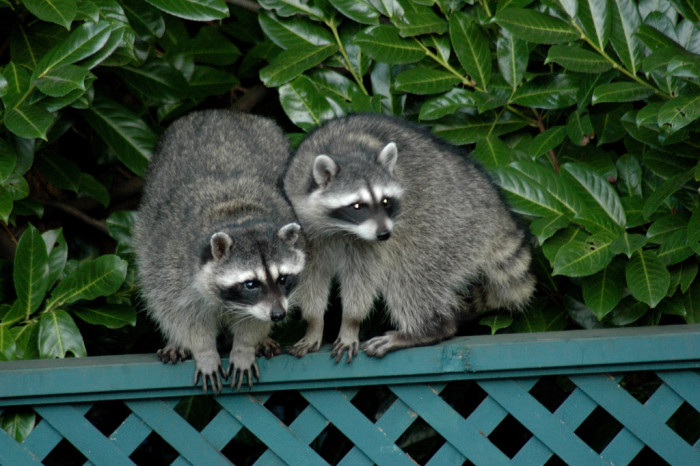 4. In 2013, a Colorado man was arrested after brutally killing two raccoons to avenge the death of his cat.