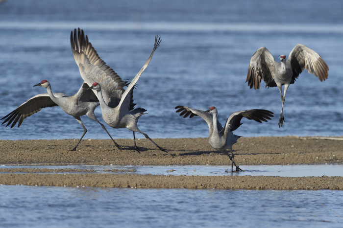 6. The Sandhill Crane Migration