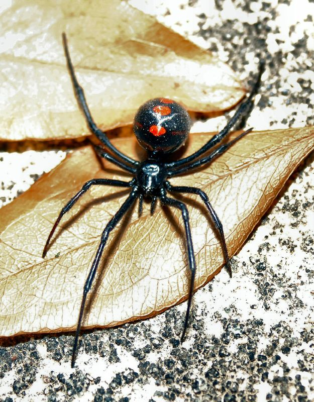9. Small, deadly spiders.
