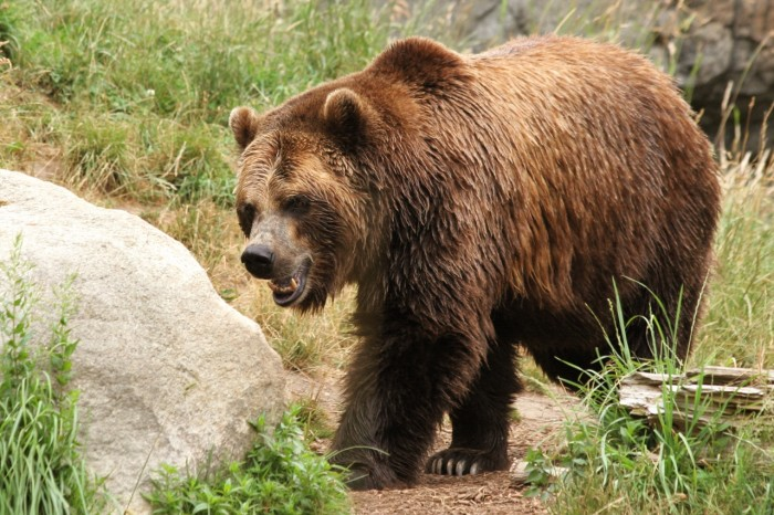 9. The largest brown bear in New Jersey weighed more than a Geo Metro.