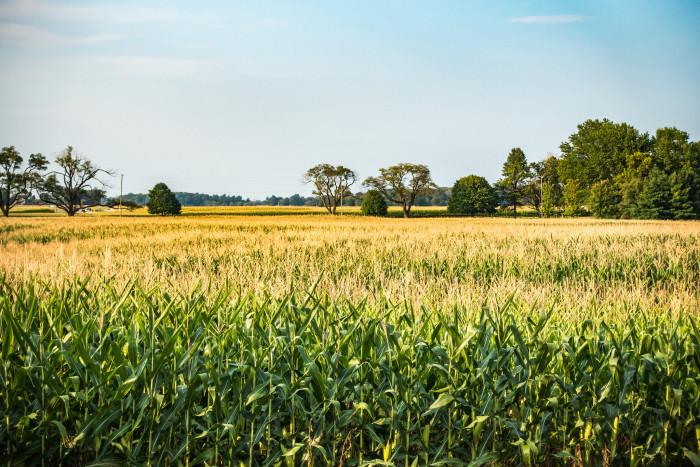 4. Cornfields