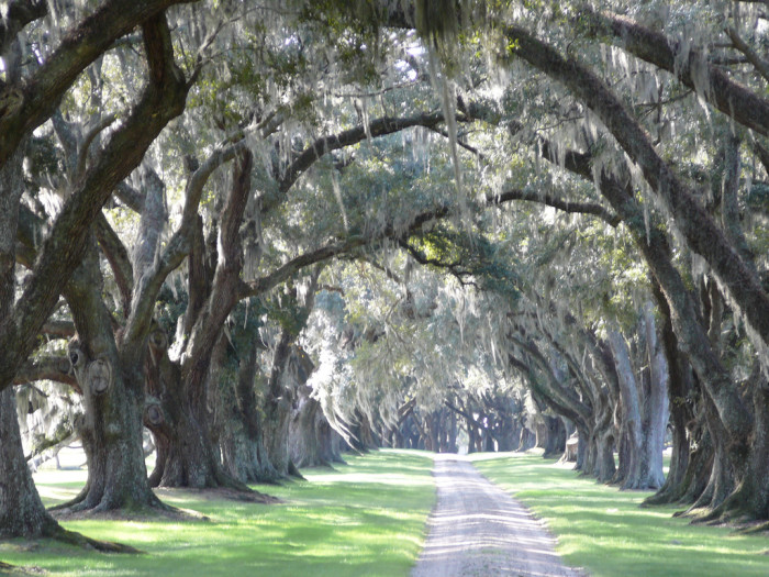 11. The trees covered in spanish moss and the long driveways.
