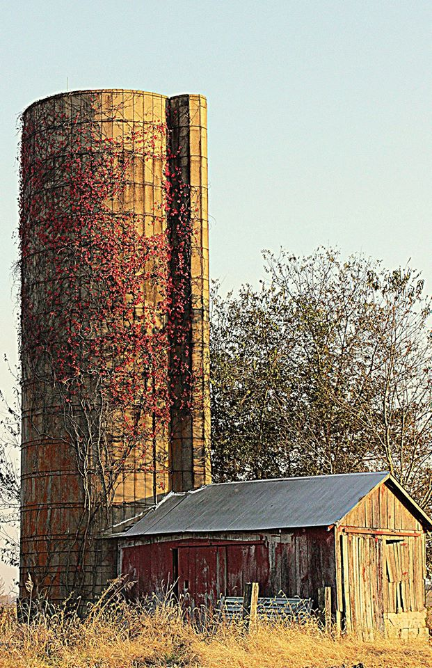 24.Fall colors creeping up the silo.  Taken in rural Scott County by Dawn Griggs Scherer.