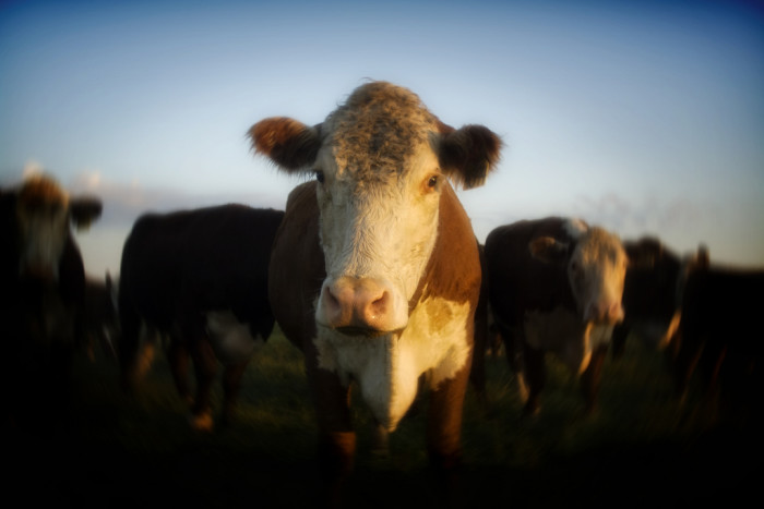 11. People who ask if we go cow tipping.