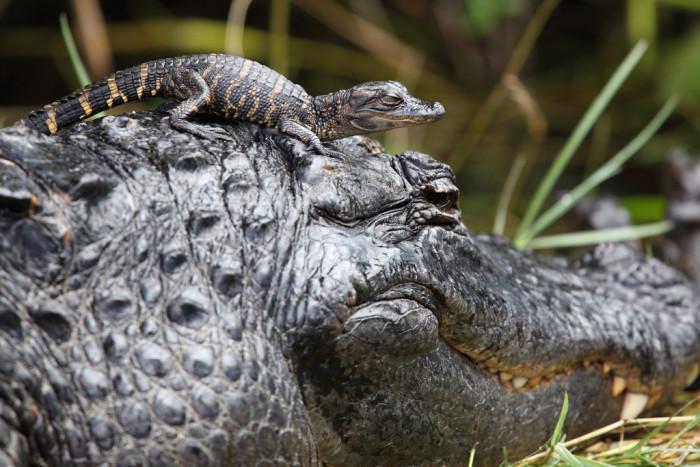 1. Alligators