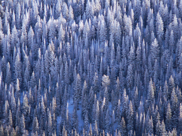 1. Pine trees look amazing covered in snow.