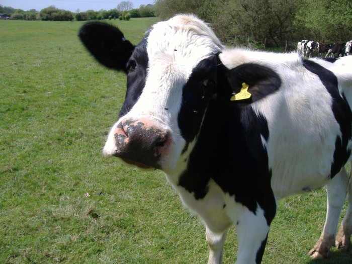 8. …or what cow tipping is like.