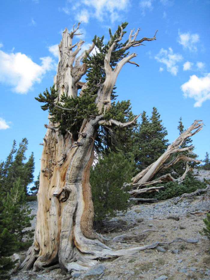 6. Ancient Bristlecone Pines - White Pine County