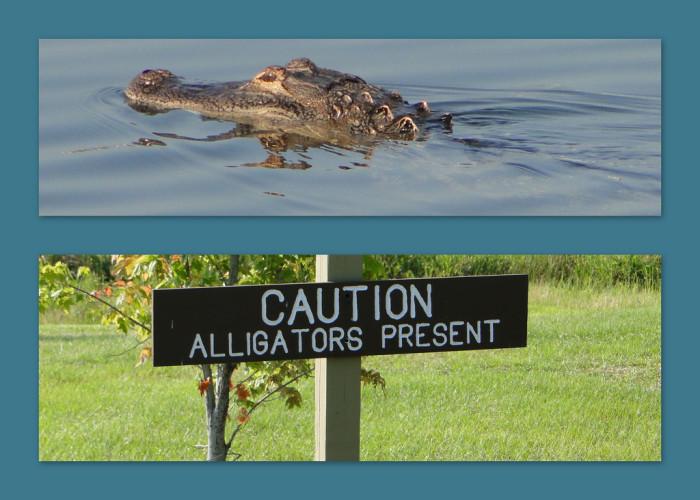 10. Alligators