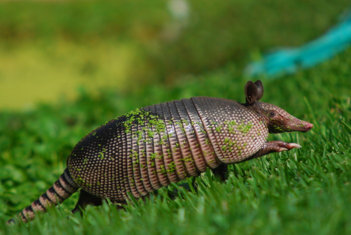 7. It is illegal to keep an armadillo as a pet in Maine.