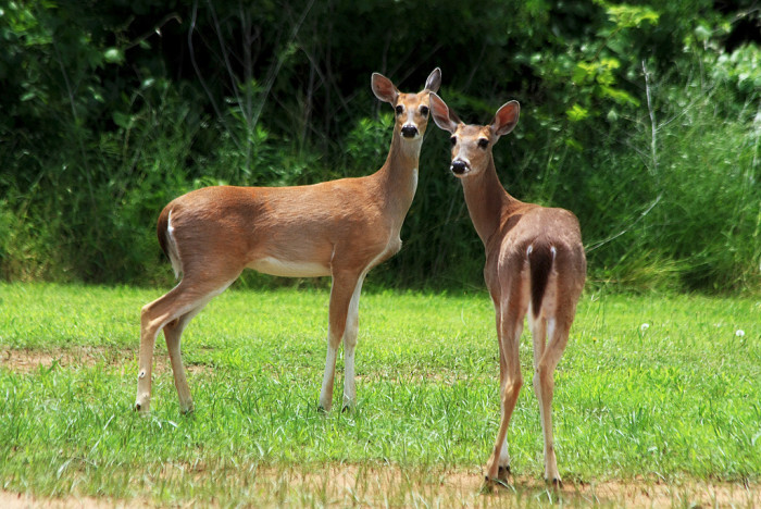 7) Deer