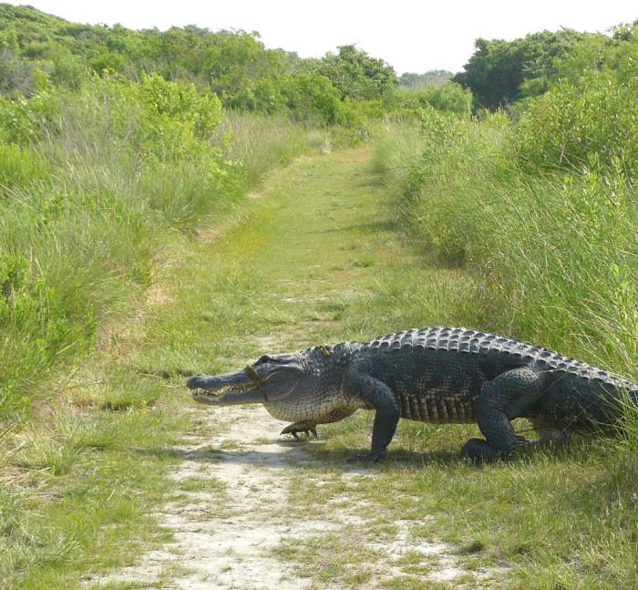 6) Alligators/crocodiles