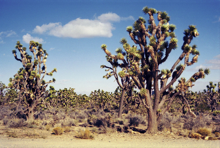 8. Speaking of strange plants, I'm sure these Joshua trees seen in Meadview appear just as bizarre.