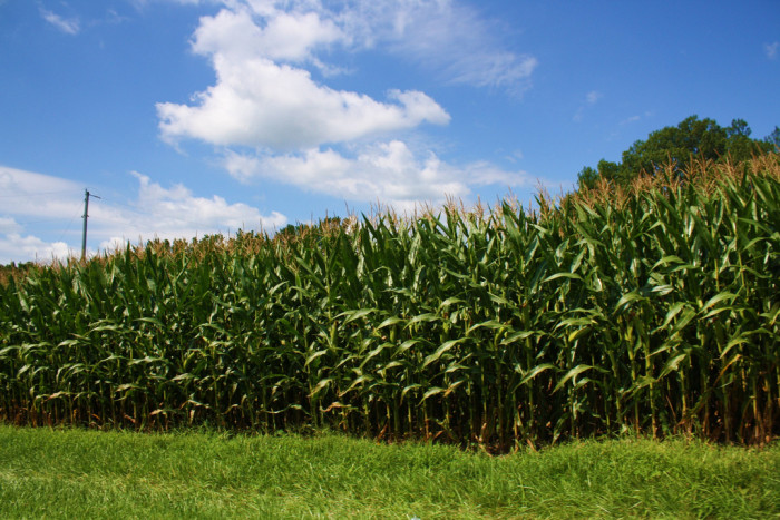 1. Did you know Indiana ranks fourth as the state that produces the most corn in the United States?