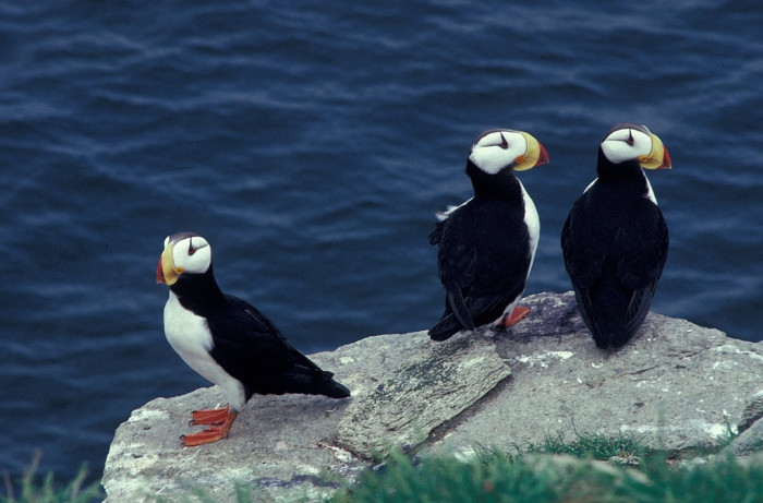 3) Horned Puffins looking dapper.