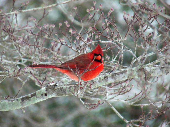 22. Cardinal perched in an icy Dogwood Tree.