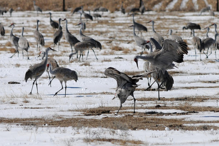 33. Watch the sandhill crane migration, Platte River