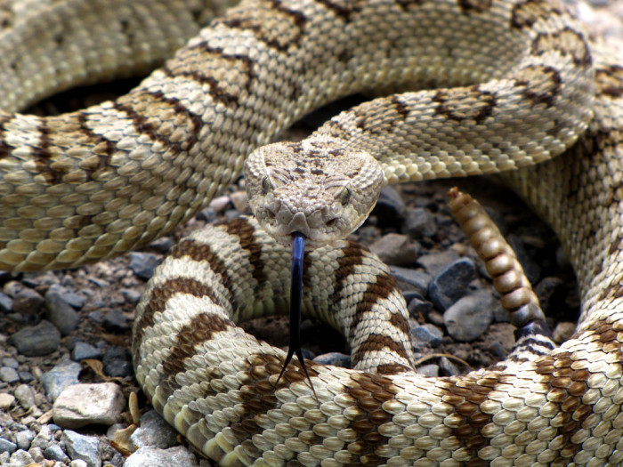8. Stepping on, picking up or messing around with rattlesnakes is a bad move.