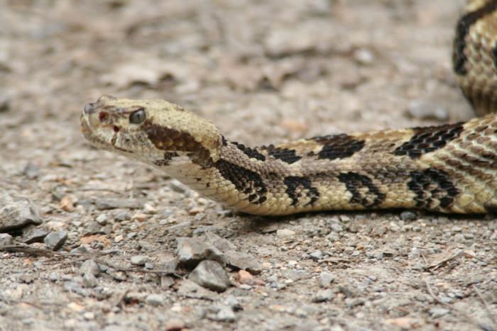 6. The Timber Rattlesnake