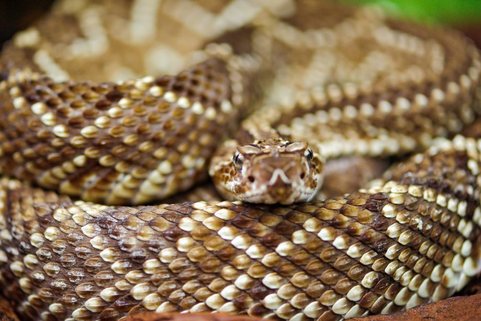 4. Rattlesnakes and/or other poisonous snakes can be the death of you.