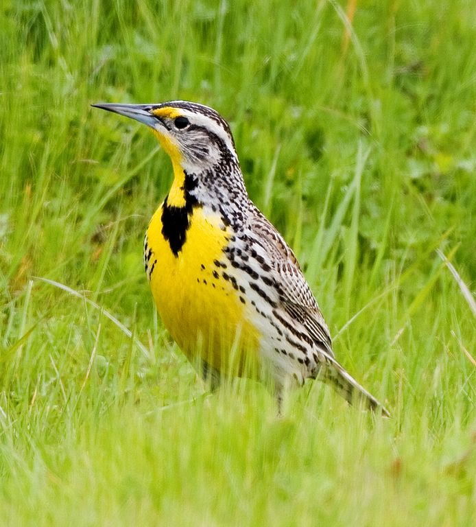 M is for Meadowlark.