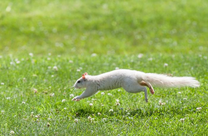 9. Brevard white squirrels