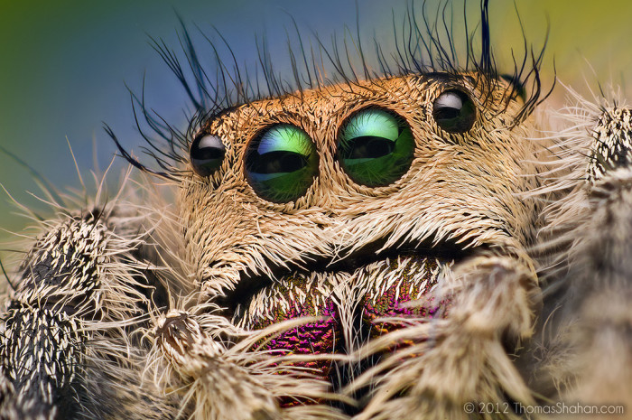 3. Jumping Spider Close-Up