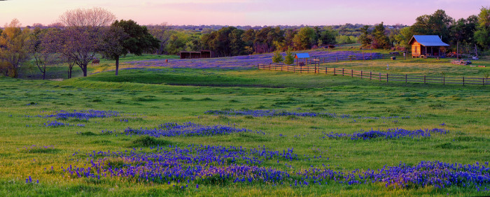 1) This peaceful pasture covered with beautiful bluebonnets.
