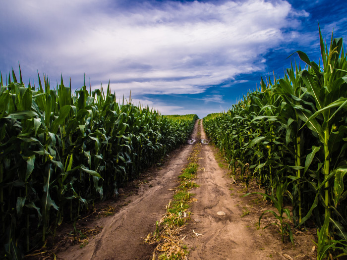 "3. You didn't think I was going to neglect to include at least one cornfield, right? Whether you want to admit it or not, everyone thinks ""corn"" when you mention Indiana. This picture was taken near Noble County."