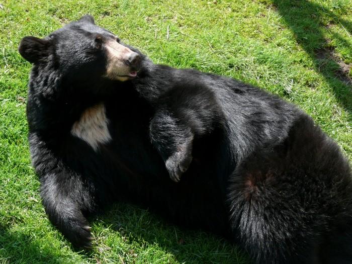 6. Black Bears