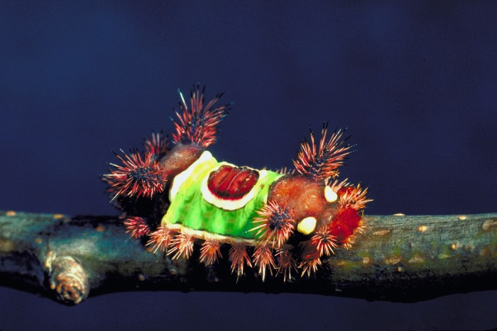 9. Saddleback caterpillar.