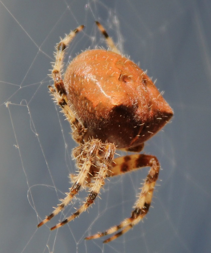 10. Cat-faced spider.