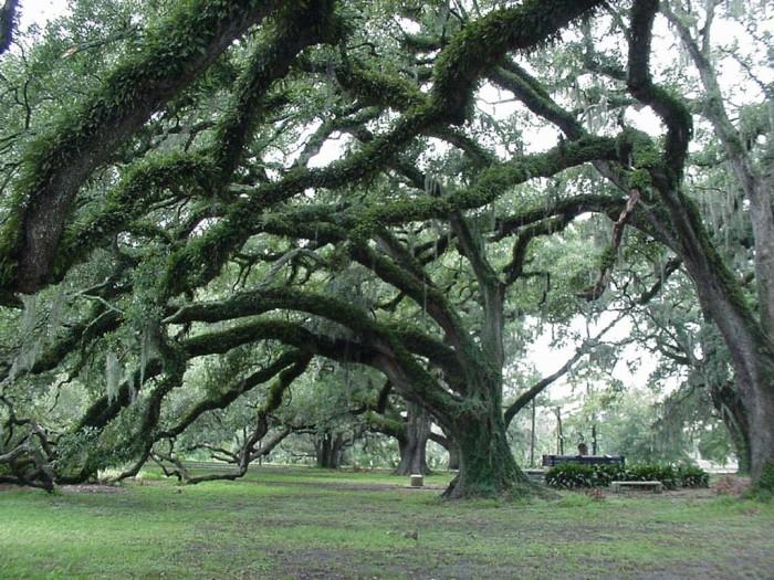 11. Live Oak Trees