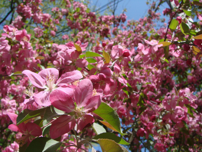 8) Flowering apple orchard