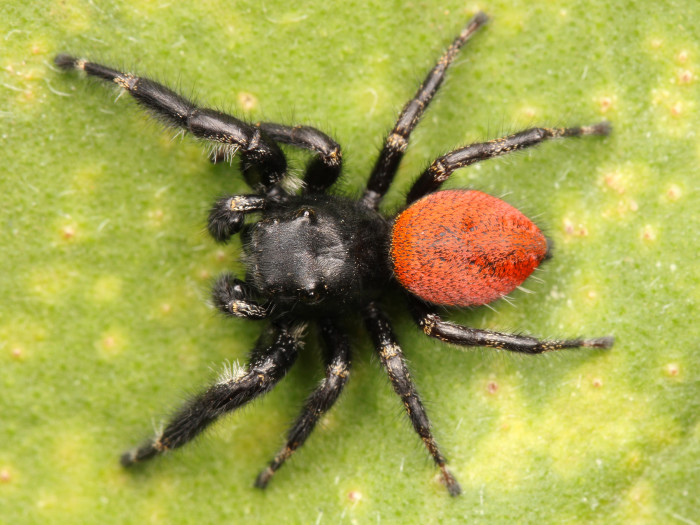 11. Red-backed jumping spider.