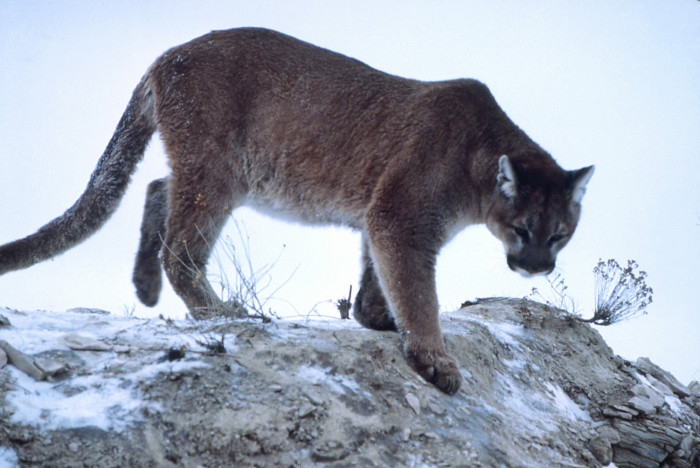 8. Mountain Lions