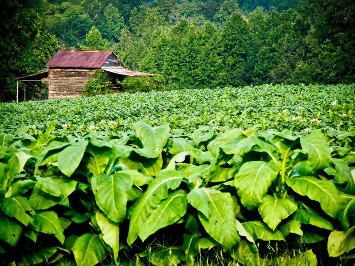 14. Did you grow up on a tobacco farm?