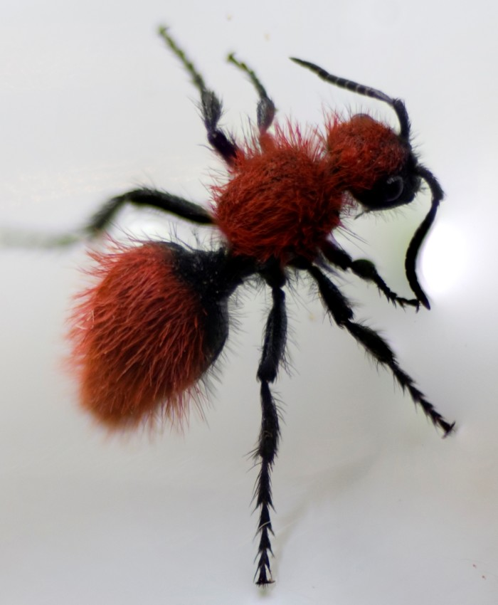 6. Velvet ant [cow killer].