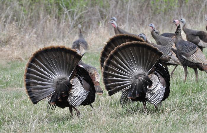 11. Wild Turkeys