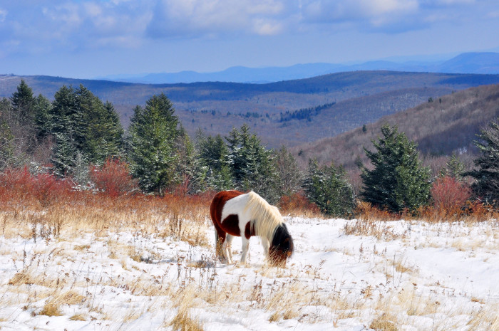25. Shaggy winter ponies at Grayson Highlands State Park.