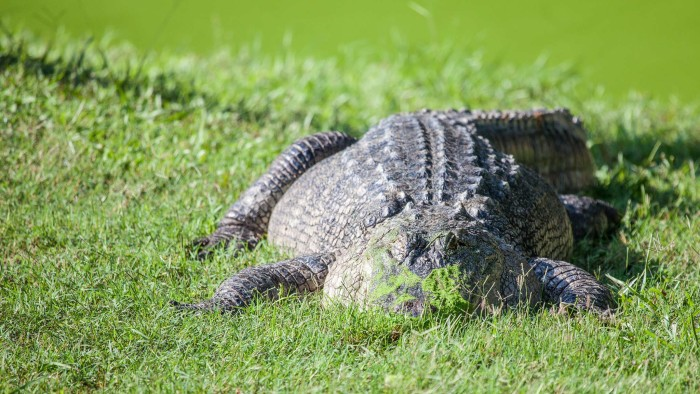 7. Gators in the backyard that aren't garden statuary. No matter how many times you find one of these in your back yard you're still terrified.