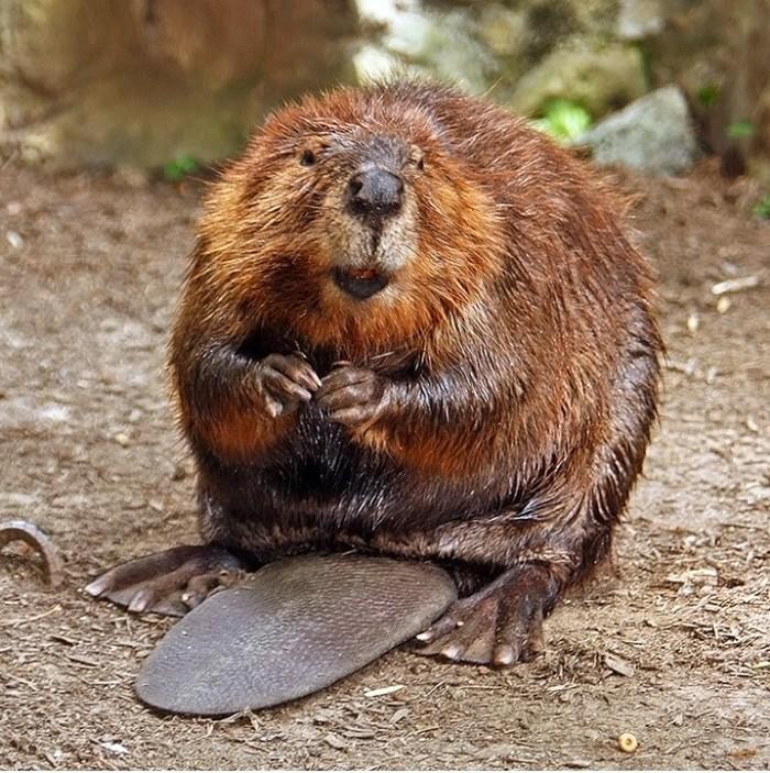 1. Beaver City