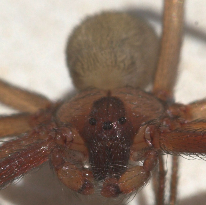 6. DEADLY SPIDERS. The brown Recluse Spider is found throughout South Carolina. One main feature that sets it apart from other spiders is it has THREE sets of EYES. (Maybe it's an alien!)
