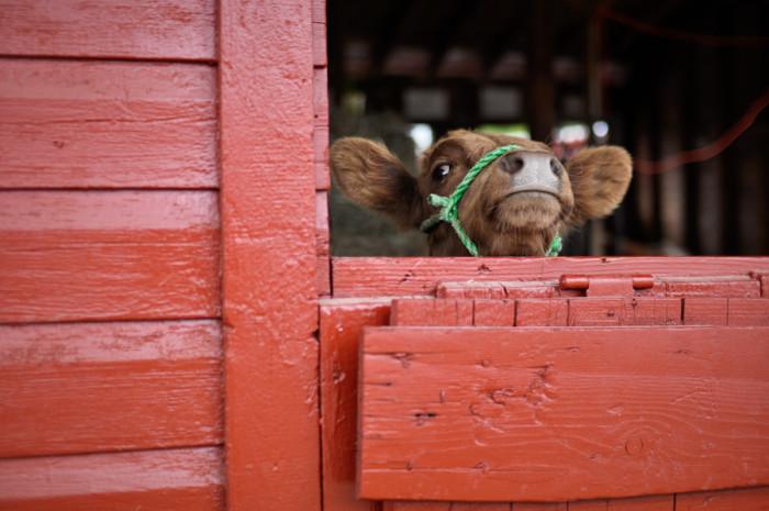 11.  Cows.