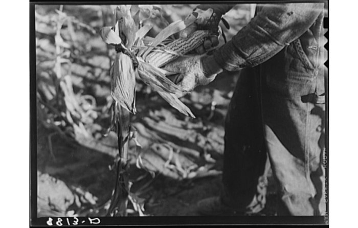 8. A farmer shucking corn the old-fashioned way: by hand.