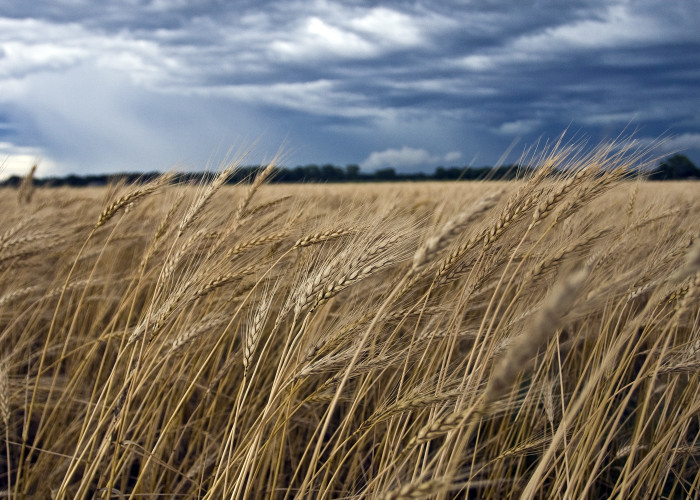 6. We are a top 5 producer of wheat in the nation.