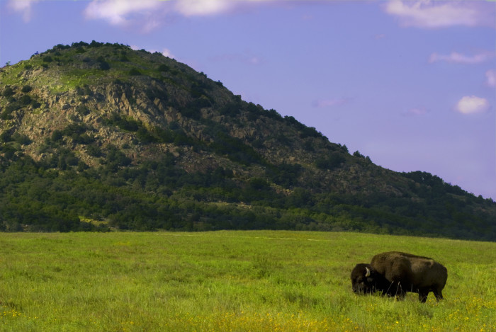 13. The American Bison roam free in The Wichita Mountain Wildlife Refuge, one of the few places in the nation where they can still roam as they did centuries ago.